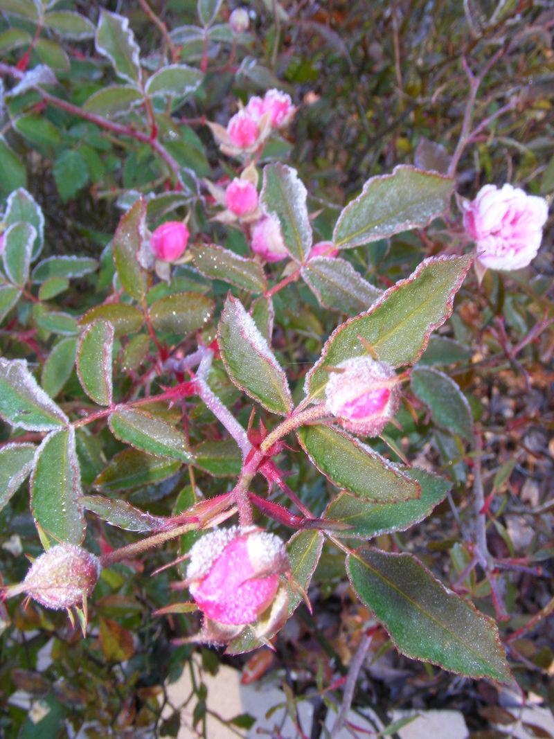 Frosty rosebuds