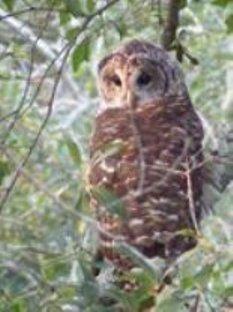 The_owl_2